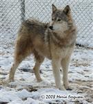 Wolf wanting to play in snow picture Picture