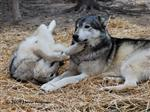 Wolf pictures,  playing in straw Picture
