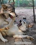 Wolf pictures, not happy Picture