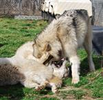 Wolf pictures, choke hold