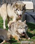 Wolf pictures, playing Picture