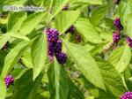 Profusion Beautyberry Picture