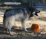 Wolf howls for her pumpkin picture Picture