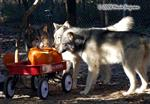 Wolves and pumpkin wagon photo Picture