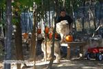 Wolf pictures, getting thier pumpkins Picture