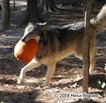 Wolf runs with Pumpkin Picture