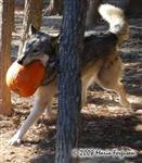 Wolf pictures, pumpkins 2008 Picture