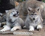 8 week old Wolf pups picture Picture