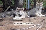 The Lookouts wolf pup picture Picture