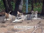 Sticks and Stone Wolf pup picture Picture