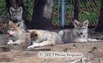 All together now, Wolf pup picture Picture