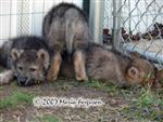 Wolf pups 5 weeks old picture Picture