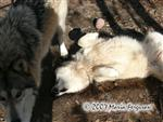 Wolf wants belly rubs, picture Picture