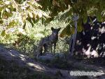 Red Wolf, Canis Rufus Picture