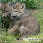 Wolf Pup Sisters photo Picture