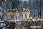 Wolf pictures, Wolves in Snow