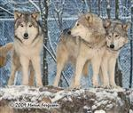 Wolf pictues, Wolf Family