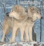 Wolf pictures, Mother and Daughter Picture