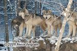 Wolf pictures, Lookouts Picture