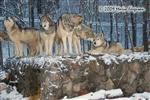 Wolf pictuers, Snow Wolves Picture