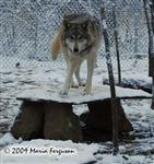 Wolf pictures, female Wolf Picture