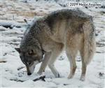 Wolf pictures, It's snow Picture