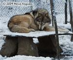 Wolf pictures, resting Wolf Picture