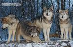 Wolf Pictures, Wolves in Snow Picture