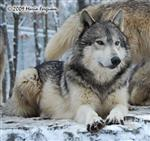 Wolf pictures, snowy morning Picture