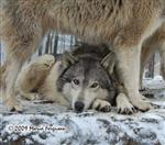 Wolf pictures, sleepy Wolf Picture