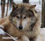 Wolf pictures, Alpha in snow Picture