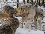 Wolf pictures, the snow pack Picture