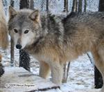 Wolf pictures, lone female Picture