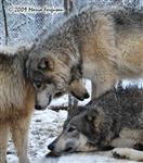 Wolf pictures, Winter pack Picture