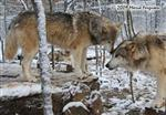 Wolf pictures, sniffing Picture