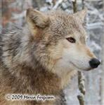 Wolf pictures, Ohoyo profile Picture