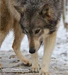 Wolf pictures, up close Picture