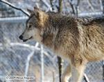 Wolf pictures, on the move Picture