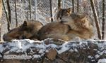 Wolf pictures, resting Wolves Picture