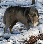 Wolf pictures, walking in winter Picture