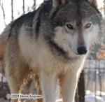 Wolf pictures, very close up Picture
