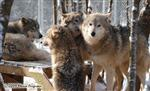Wolf pictures, hanging out Picture