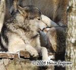 Wolf pictures, pestering Picture