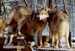 Wolf pictures, Winter pile up Picture