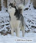 Nashoba, Husky in the snow picture Picture