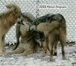 Wolves rally in snow picture Picture