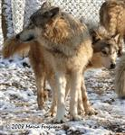 Wolves in snow picture Picture