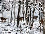 A Wolf Pack in the snow picture Picture