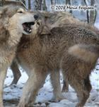 A Wolf greeting picture Picture