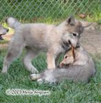 Wolf pups play with stick picture Picture